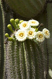 Saguaro Blooming Stock Photo
