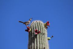 Saguaro blooms. Birds love the tasty blooms on the top of the saguaro cactus. Here a bird calls to others to come taste the treat Stock Images