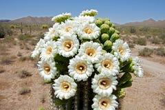 Saguaro Blossom Stock Image