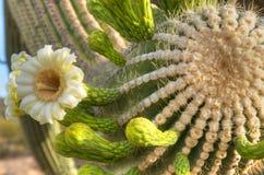 Saguaro Blossom Stock Photo
