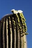 Saguaro Blossoms 3 Stock Image
