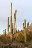 Saguaro Cactci Royalty Free Stock Photos