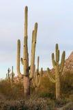 Saguaro Cactci Royalty Free Stock Photos