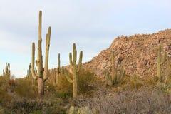 Saguaro Cactci Lizenzfreies Stockfoto