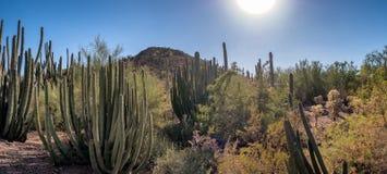 Saguaro cactee in a high desert, Arizona Stock Images