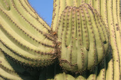 Saguaro cacti Royalty Free Stock Photography