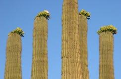 Saguaro cacti Royalty Free Stock Image