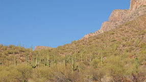 Saguaro cacti in arizona Stock Photo