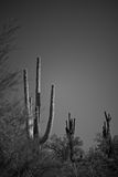 Saguaro Cacti In Arizona B&W Stock Image