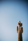 Saguaro Cacti In Arizona Stock Image