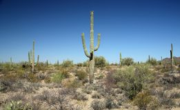 Saguaro cacti in the Arizona Sonoran Desert. West of Tucson Royalty Free Stock Images