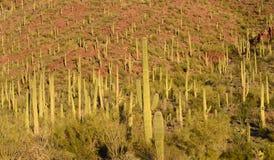 Saguaro Cacti Forest, Tucson, AZ Stock Photos