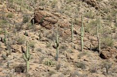 Saguaro cacti on a mountainside in the Arizona Sonoran Desert. Saguaro cacti on a mountain in the Arizona Sonoran Desert west of Tucson Royalty Free Stock Photo