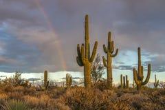 Saguaro cacti and rainbow in Arizona desert near Scottsdale. Stand of Saguaro cactus late afternoon with rainbow in background near Scottsdale stock photo