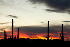 Saguaro Cacti Sonoran Desert Sunset. Sonoran Desert sunset with iconic Saguaro columnar cacti, Carnegiea gigantea, Arizona, USA Royalty Free Stock Photography