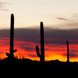 Saguaro Cacti Sonoran Desert Sunset. Sonoran Desert sunset with iconic Saguaro columnar cacti, Carnegiea gigantea, Arizona, USA Stock Photography