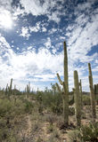 Saguaro cacti in southern Arizona desert Royalty Free Stock Image