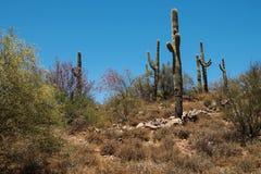Saguaro Cacti stand Sentinal in the Phoenix Sonoran Preserve stock photo