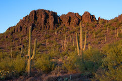 Saguaro cacti at sunset Royalty Free Stock Photos
