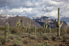 Saguaro Cacti and the Superstitions Royalty Free Stock Photography