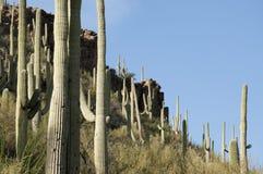 Saguaro cacti Tucson, Arizona. Saguaro cacti in Sabino Canyon, Tucson, Arizona against a rocky outcropping Royalty Free Stock Photography