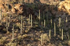 Saguaro Cacti in Tucson Royalty Free Stock Images