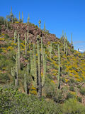 Saguaro Cacti and Yellow Brittlebush Stock Image