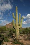 Saguaro cactus Stock Photos