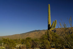 Saguaro Cactus. Against a blue sky in Tucson, Arizona royalty free stock photography