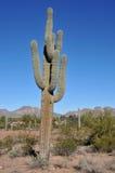 Saguaro Cactus. Tall spiny saguaro cactus at the edge of the Arizona desert royalty free stock photography
