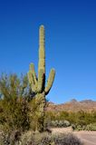 Saguaro Cactus. Tall and spiny Saguaro cactus on the side of an Arizona highway royalty free stock photos