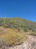 Saguaro Cactus. Hillside with saguaro cactus in bloom Stock Photo