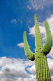 Saguaro Cactus 2 Royalty Free Stock Photography