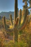 Saguaro Cactus 2. Close up of saguaro cactus in the winter Arizona desert Stock Photos