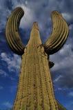 Saguaro cactus 2 Royalty Free Stock Photos