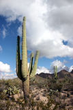 Saguaro cactus. Saguaro cacti stand sentinel in the sonoran desert near tucson, arizona, usa stock photo