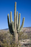 Saguaro Cactus Royalty Free Stock Photo