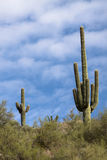 Saguaro Cactus. On Hill Side with Blue Sky with White Clouds Royalty Free Stock Photo