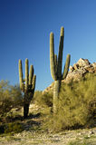 Saguaro Cactus 3. A pair of saguaro cacti with multiple arms Stock Photos