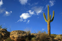 Free Saguaro Cactus Royalty Free Stock Photo - 3271505