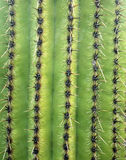 Saguaro Cactus. Close up image of a Saguaro Cactus stock image