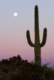Saguaro Cactus. Sahuaro Cactus with the moon rising behind it Stock Photo