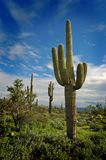 Saguaro Cactus 9 Royalty Free Stock Photos