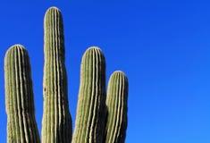 Saguaro Cactus Against a Bright Blue Sky. Sonora Desert, Arizona Royalty Free Stock Images
