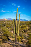 Saguaro cactus in Arizona Royalty Free Stock Images