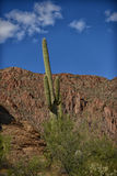 Saguaro cactus in arizona with a blue sky. A saguaro cactus in arizona with a blue sky stock images