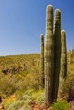 Saguaro Cactus on the Arizona Desert stock photos