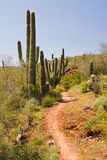 Saguaro Cactus on the Arizona Desert Stock Photography