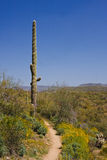 Saguaro Cactus on the Arizona Desert Royalty Free Stock Image