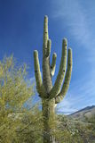 Saguaro Cactus at Arizona Desert Royalty Free Stock Photography